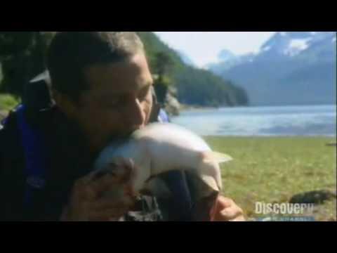 Bear Grylls eats live Salmon