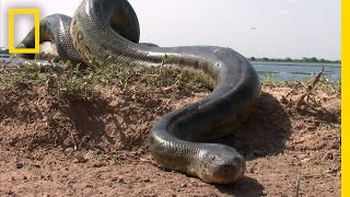 Download 5 Grown Men Vs. 1 Big Snake | National Geographic
