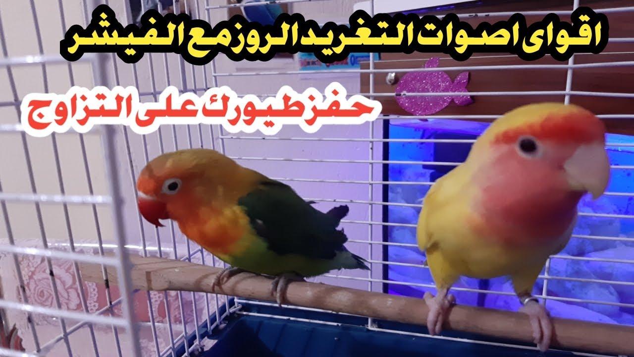 تحفير طيور الروز والفيشر على التزاوج بعد سماعها هذا الصوت الجنوني فيديو صوت وصورة Youtube