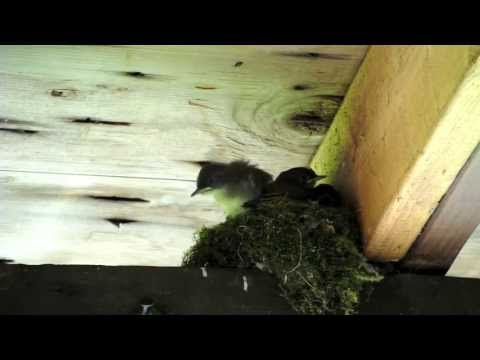 Eastern Phoebe Nestlings