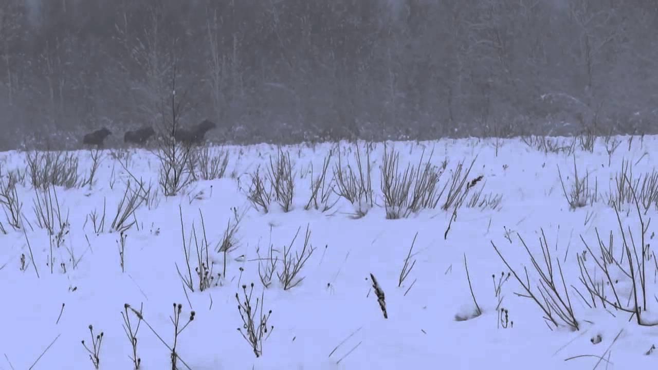 Охота на лося в центральной России