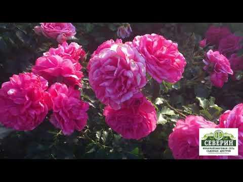 Роза немецкой селекции сорт Розариум Ютерсен