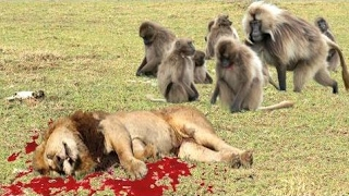 驚異的なヒヒの攻撃 - ヒヒの殺した赤ちゃんのインパラ、クロコダイル、...