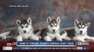 A local animal rescue says the demand for Siberian Huskies here in ...