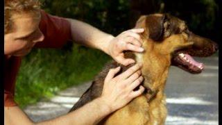 КАК ЗАЩИТИТЬ СОБАКУ ОТ КЛЕЩЕЙ, и что делать, когда клещ уже укусил. Советы эксперта!(Защита собаки от клещей и блох - это основная головная боль владельца питомца весной и летом. В этом видео..., 2015-05-03T15:47:19.000Z)