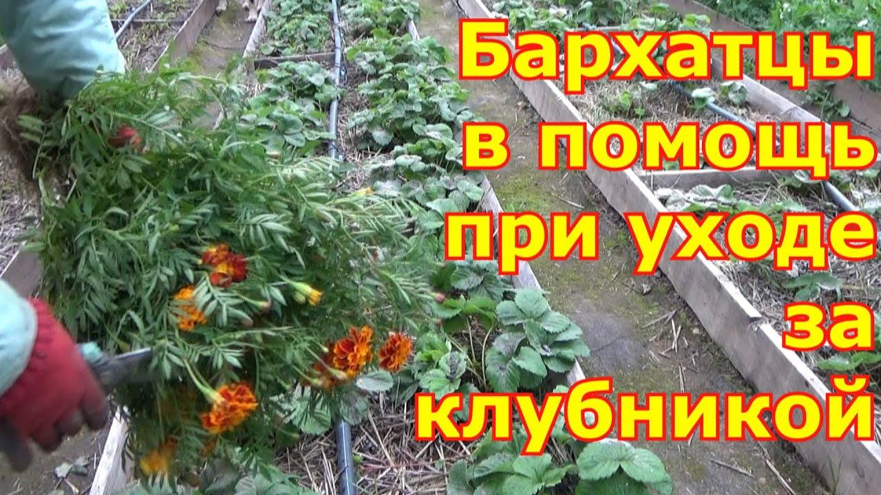Клубника. Уход после сбора урожая и осенью, подготовка к зиме. Бархатцы для мульчирования клубники.