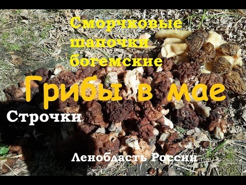 Сморчковые шапочки и строчки – майские грибы