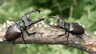 БОРЬБА ЗА ВЫЖИВАНИЕ!!! Бой жуков за жилище| #edblack
