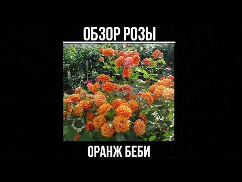 Обзор розы Оранж Беби (Спрей) - Orange Babyflor (Еvers Германия, 1994)