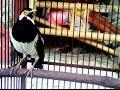 WOW...... Burung ini Bisa Bicara Seperti Manusia