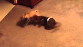 Pug And Dachshund Playing