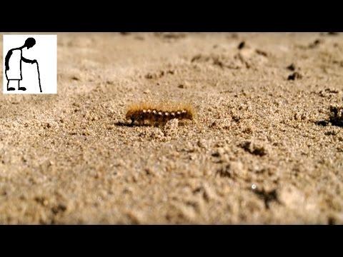Hairy Caterpillar on the Beach