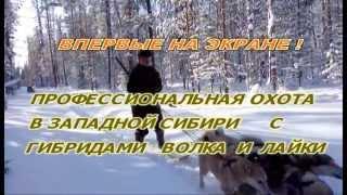 Проф. охота с гибридами лайки(ч1)
