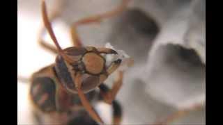 セグロアシナガバチは本能で寄生を認識しているようです。巣全体が侵さ...
