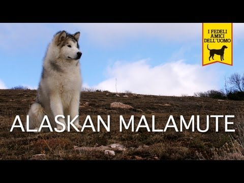 ALASKAN MALAMUTE trailer documentario