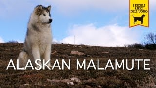 ALASKAN MALAMUTE trailer documentario