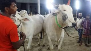 Huge Cow Pair Show Up || Sharif Agro || Kurbani Eid || Qurbani 2018