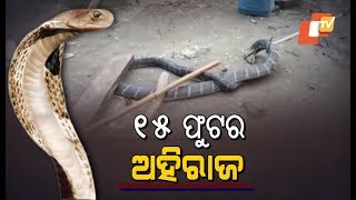 Huge & Deadly! 15-Feet-Long King Cobra Rescued In Malkangiri Odisha