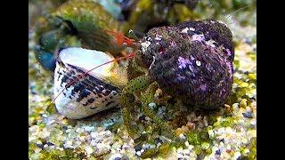 ケアシホンヤドカリ Keasihonnyadokari hermit crab  Pagurus lanuginosus