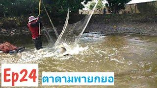 Ep24ตาดามพายกยอ#บ่อปลาพี่สะใภ้