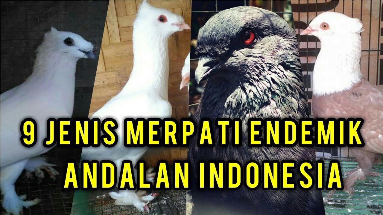 Unduh 93+ Foto Gambar Burung Merpati Songkop HD  Gratis