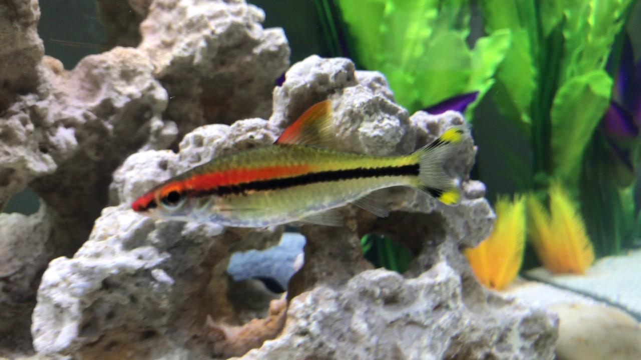 Freshwater aquarium fish orlando -  Fs Ft Mbuna African Cichlids Oviedo Longwood Orlando Fl Area
