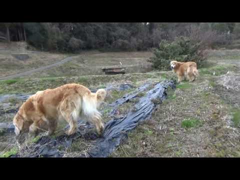 ゴールデンレトリバーが遊ぶのは田植えの準備が始まる友人の水田。
