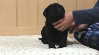 PADOGグループにて販売中!http://www.at-breeder.net/labrador_retrieb...