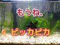 アクアリウム【金魚】コケ、さようならpart2 の動画、YouTube動画。