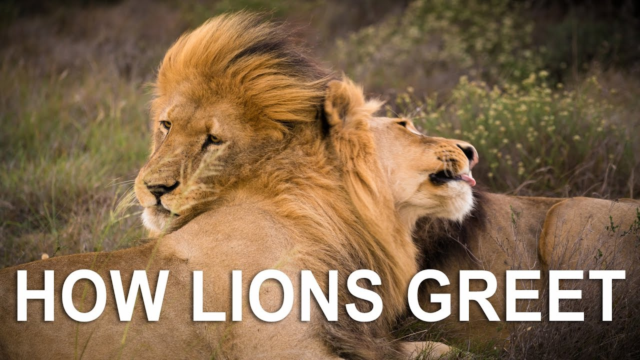 lions father son greeting 5m from car youtube lions father son greeting 5m from car m4hsunfo