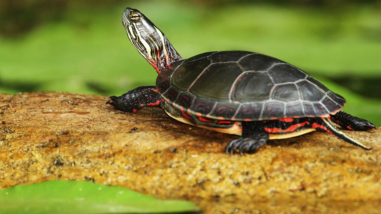 Whats a Tropical Turtle? Pet Turtles - YouTube