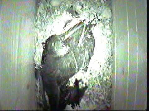 TORNSEGLARE Common swift. Mauersegler (apus apus) Film 3 av Thomas Hasselberg ( thasselberg.se )