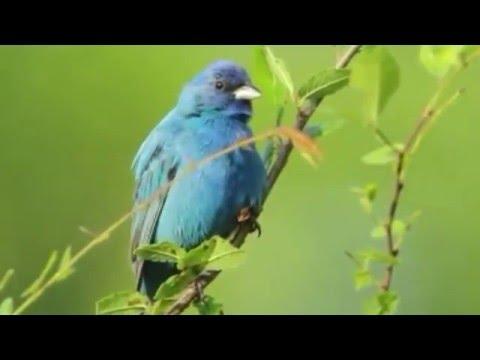 Bird Song Indigo Bunting