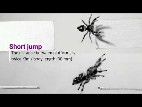 Scientists train spider to jump on demand to discover secrets of animal movement