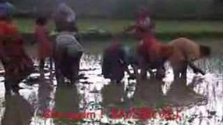Rice planting of Patan Nepal
