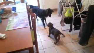 Joko - Alano Español [ Spanish Bulldog ]