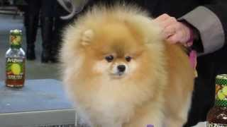 Pomeranian Getting Poofed At Westminster Dog Show