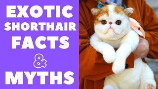 Exotic Shorthair Cats 101 : Fun Facts & Myths
