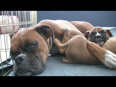 Sleepy 6 Week Old Boxer Puppies