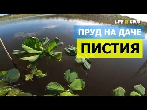 Пистия. Растения для пруда в саду. Пруд-копанка своими руками
