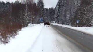 Лось, соблюдающий правила дорожного движения, обнаружен в Карелии