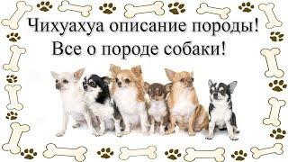 Чихуахуа описание породы! Все о породе собаки!