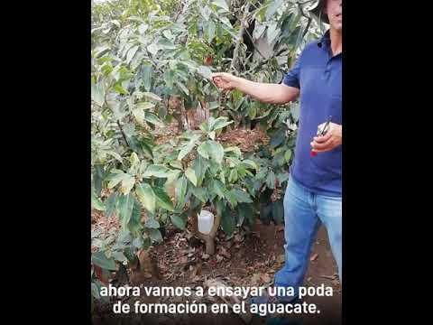 Poda De Un árbol De Aguacate Youtube