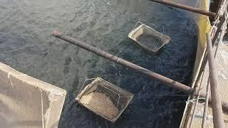 Чем отличается форель от голодного карпа? Рабочий день рыбовода.