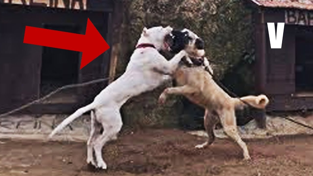 Dogo Argentino Vs Kangal Quien Es Mas Poderoso Dog Fight Youtube