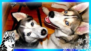 Gone to the Snow Dogs for the Love of HUSKIES (Promotional Trailer) Fan Finder thumbnail