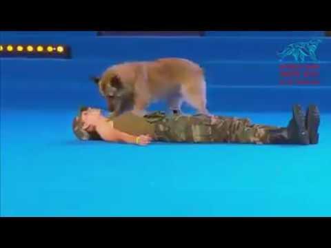 Mira este perro policia sabe como aplicar tecnicas de reanimacion cardiopulmonar  a las personas !asombroso!