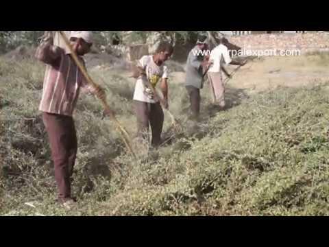 Keo Organic Henna Farms In India Youtube