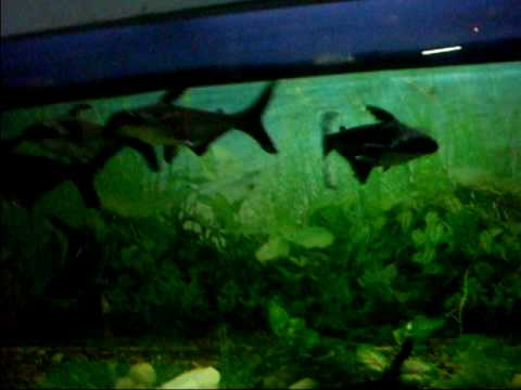 Tiger Black Sharks Fish Aquarium Six Chennai Zoo January 03 2010
