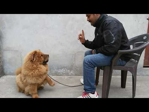 RISHI THAPAR DOG TRAINING VIDEO CHOW CHOW